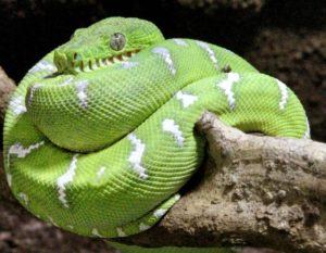 Reptilium-Landau_schlange