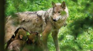 Wölfe, bald auch wieder in der Pfalz?