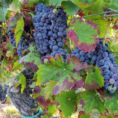 Pfälzische Weintrauben